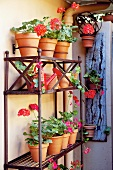 Geraniums in pots on shelving