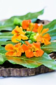 Nasturtium flowers on leaves