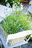 Blühender Lavendel im Korb auf Gartenstuhl