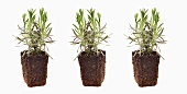 Three lavender plants with root balls