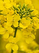 Flowering oilseed rape (close-up)