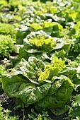 Lettuces, 'Forellenschuss' variety