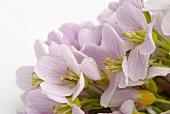 Blüten vom Wiesenschaumkraut (Nahaufnahme)