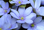 Hepatica nobilis (remedy for liver disorders)