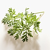Wormwood (used to make absinthe)