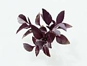 'Rubin' basil (Ocimum basilicum ssp. Basilicum)