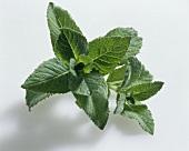 Bowles apple mint (Mentha rotundifolia 'Bowles')