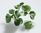 Scotch lovage (Ligusticum scoticum)