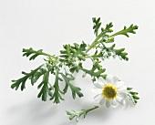 Scentless chamomile (Tripleurospermum perforatum)