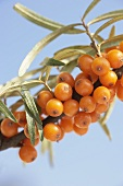 Sea buckthorn branch against sky
