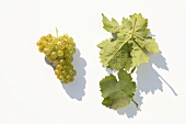 White wine grapes, variety 'Kerner'