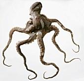 Ein Oktopus
