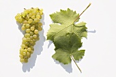 White wine grapes, variety 'Morio-Muskat'