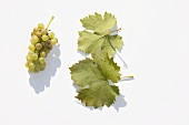 White wine grapes, variety 'Optima'