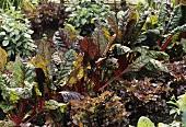 Roter Mangold 'Rhubarb Chard' & Roter Eichblattsalat 'Cerise'