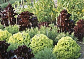 Various lettuces in garden (Green salad bowl, Lollo rosso)