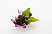 Sprig of flowering dead-nettle (Spotted dead-nettle)