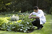 Chef picking herbs in garden