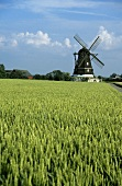 Wheat field with windmill in background