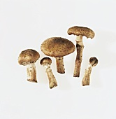 King Stropharia mushrooms on light background