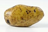 A potato, variety 'Siglinde'