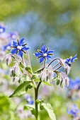 Flowering borage