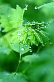 Salad burnet with drops of water