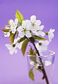 Cherry blossom in a glass of water