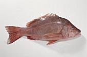 Malabar snapper (Lutjanus malabaricus)