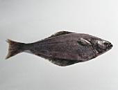 White halibut (Hippoglossus hippoglossus)