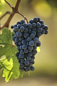 Cabernet Franc grapes on the vine, Loire Valley, France