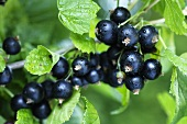 Black Currants at Bush
