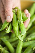 Pea pods in someone's hand