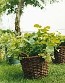 Nasturtiums in a basket