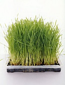 Wheat grass (young wheat plants)