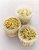 Various sprouted seeds in jars