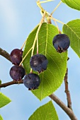 Fruits of the serviceberry
