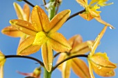 Flowers of the stalked bulbine (Bulbine frutescens)