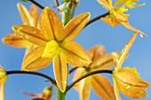 Flowers of the stalked bulbine (Bulbine frutescens)