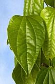 Betel plant