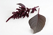 Love-lies-bleeding (Amaranthus)
