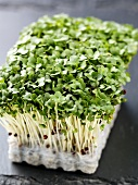 Fresh cress in growing medium