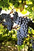 Spätburgunder grapes on the vine in a vineyard