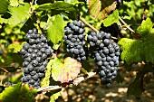 Spätburgunder grapes on the vine (Franconia, Germany)