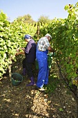 Picking Silvaner grapes in vineyard (Franconia, Germany)