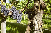 Schwarzriesling grapes on the vine