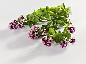 Flowering sprig of oregano