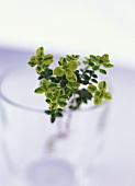 Lemon thyme in a glass