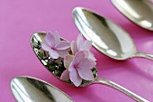 Hydrangea flowers and thyme in silver spoon