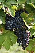 Merlot-Weintrauben an der Rebe (Frankreich)